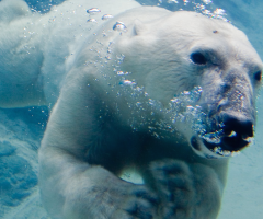 Polar bear swimming, Journal of the Wild Culture, ©2016 1231.jpg