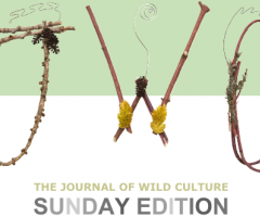 The Journal of Wild Culture Sunday Edition