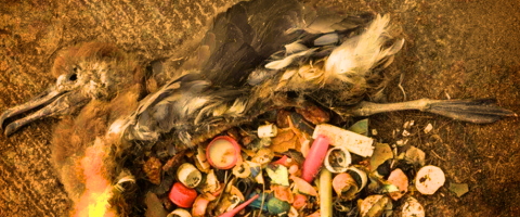 Bird stomach with trash, Wild Culture, ©2015