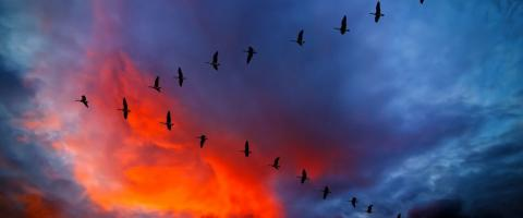 geese in v-formation sunset, journal of wild culture ©2021