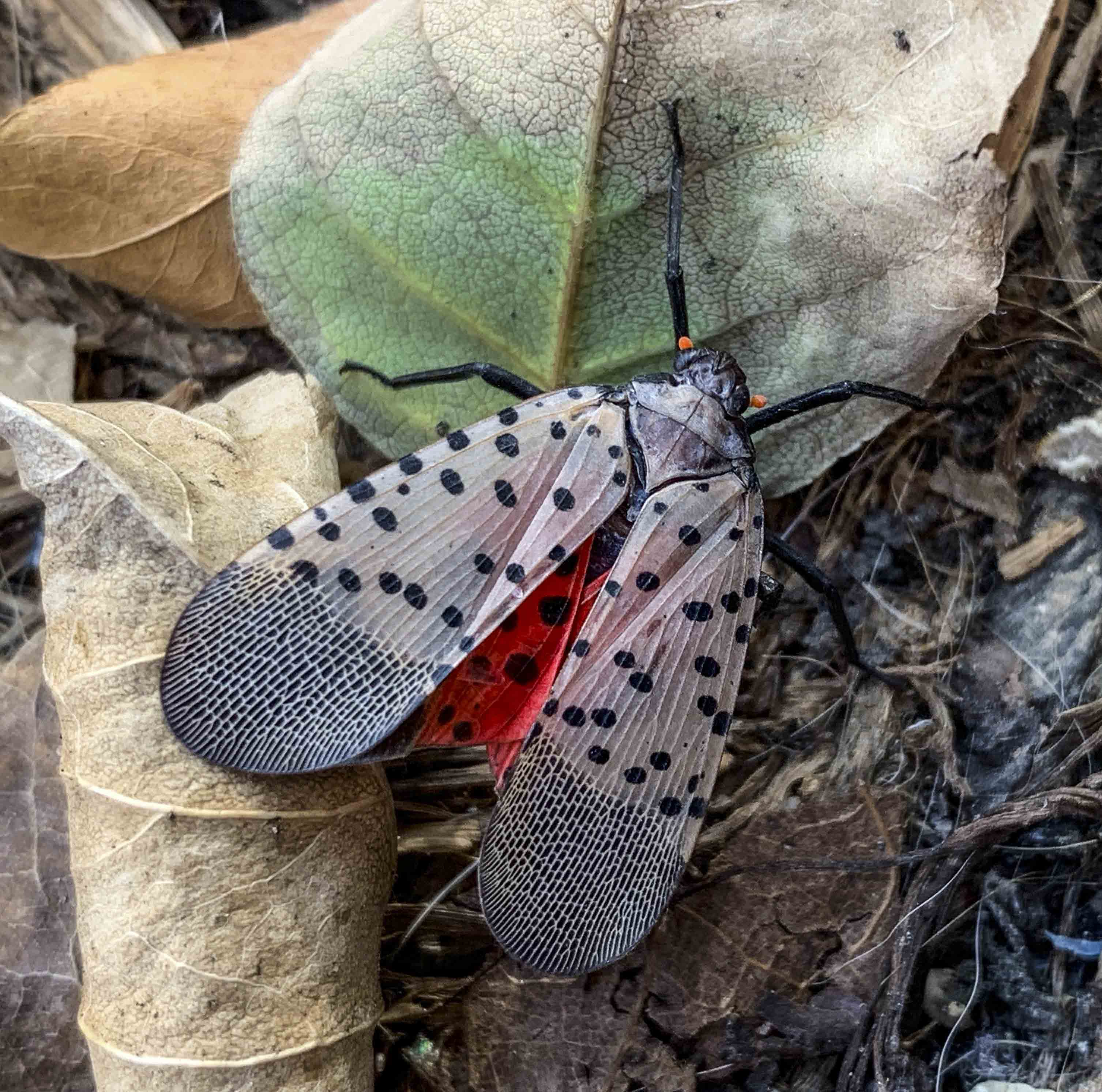 Spotted lanternfly (2), journal of wild culture, ©051620